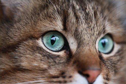 Cat, Kitten, Cute, Portrait, Eye, Pet, Animal, Fur