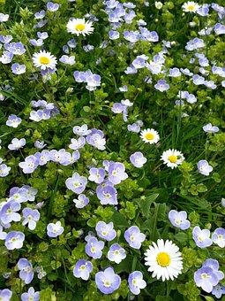 Daisy, Chamaedrys, Honorary Award, Flowers, Plant