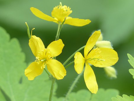 Greater Celandine, Flowers, Yellow, Plant, Flower