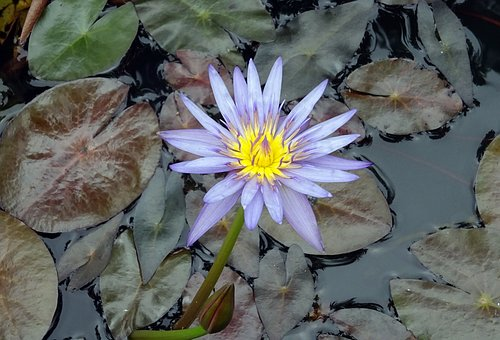 Lily, Water Lily, Nymphaea Nouchali, Purple Waterlily