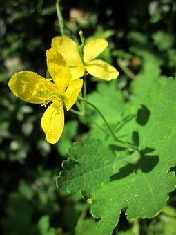 Chelidonium Majus, Greater Celandine, Tetterwort