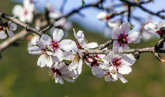 Flower, Tree, Branch, Cherry, Plant, Flowering