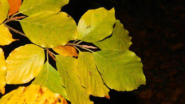Autumn, Beech Leaves, Dark Background, Yellow, Autumnal