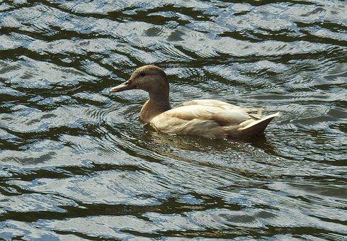Bird, Waters, Lake, Animal World, Puddle, Duck, Albino