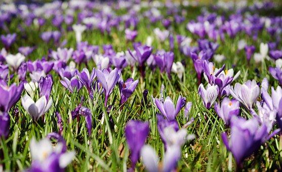 Crocus, Spring, Flowers, Bloom, Meadow, Nature, Purple
