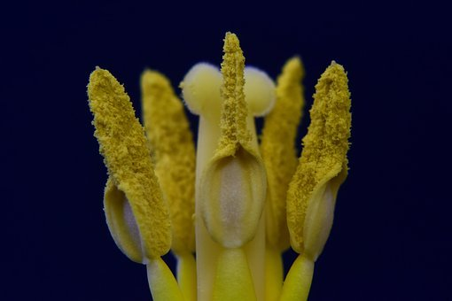 Stamp, Pistil, Pollen, Fertilization, Tulip Temple
