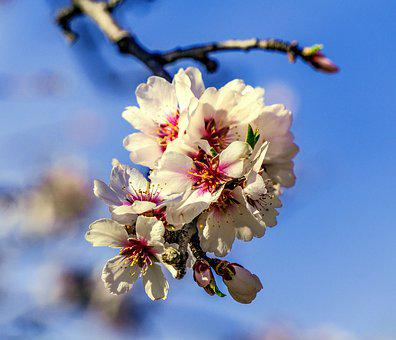 Flower, Branch, Tree, Cherry, Nature, Plant, Outbreak