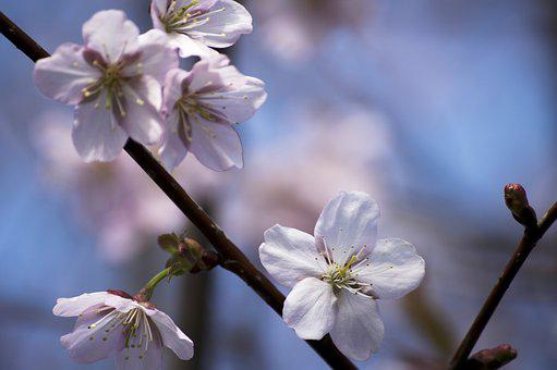 Flower, Cherry, Branch, Tree, Flora, Cherry Tree