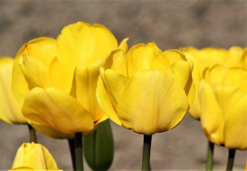 Nature, Flower, Flora, Garden, Color, Tulip, Petal