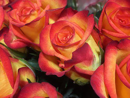 Rose, Flower, Petal, Floral, Bouquet