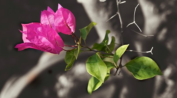 Bougainvillea, Red, Nature, Leaf, Flora, Flower