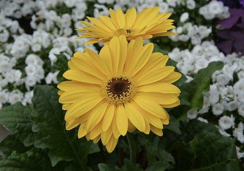 Flower, Plant, Gerbera Yellow, Nature, Spring Season