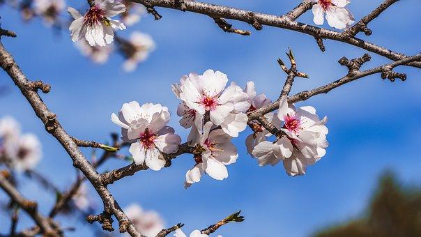 Tree, Cherry, Branch, Flower, Nature, Season, Outbreak