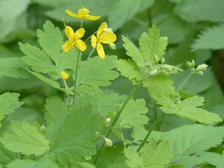 Greater Celandine, Blossom, Bloom, Yellow, Capsules