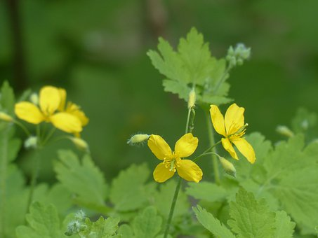 Greater Celandine, Blossom, Bloom, Yellow, Capsules