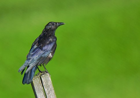 Crow, Bird, Animal, Birds, Nature, Feathers, Beak, Nero