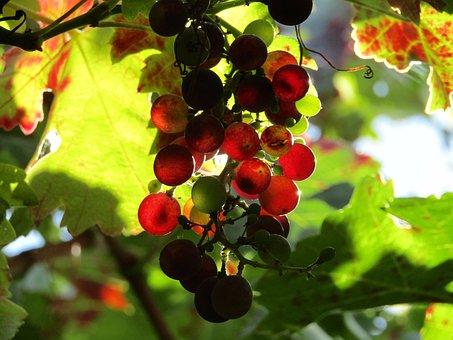 Grapes, Vineyard, Grape Leaves, Harvest, Wine