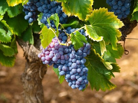 Vines, Vineyards, Fall, Grape, Vine Leaves