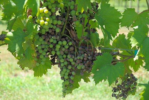 Grapes, Vineyard, Wine, Green, Winery, Rural