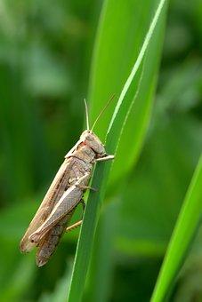 Grasshopper, Tettigonia Viridissima, Cricket, Grass