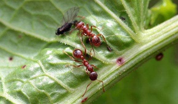 Red Garden Ant, Myrmica Rubra, Worker Inside, Dead Fly