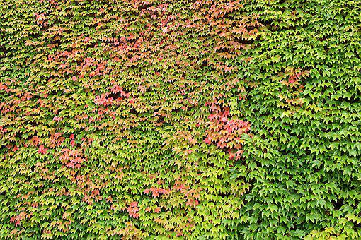 Background, Wine Partner, Plant, Climber, Leaves