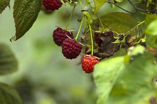 Fruit, Nature, Leaf, Food, Berry, Rasberry, Organic