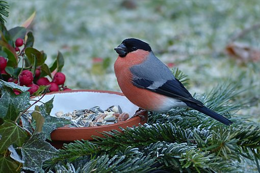Nature, Animal, Bird, Bullfinch, Pyrrhula, Males