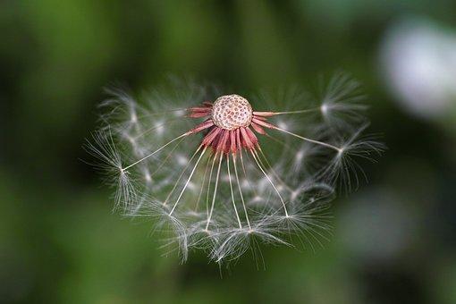 Dandelion, Nature, Plant, Flower, Background, Close-up