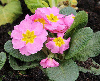 Primula, Prymulka, Spring Flowers, Flower, Pink, Nature