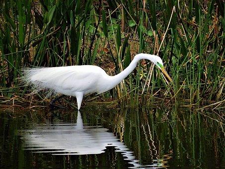 Nature, Bird, Wildlife, Water, Marsh