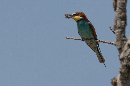 Spain, Madrid, Beaeater, Bird, Wildlife, Nature, Animal