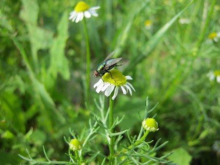Nature, Summer, Daisy, Fly