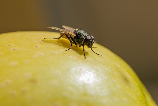 Nature, Insect, Fly, Apple