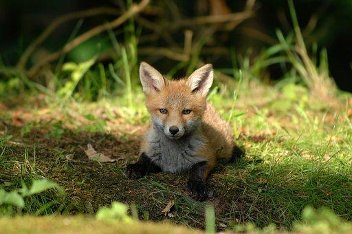Mammals, Expensive, Fox, Natural, Wildlife, Small