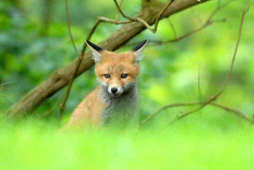 Expensive, Natural, Wildlife, Mammals, Fox, Young