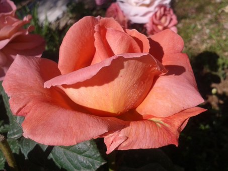Flower, Nature, Plant, Rose, Sheet, Blooming, Flowers
