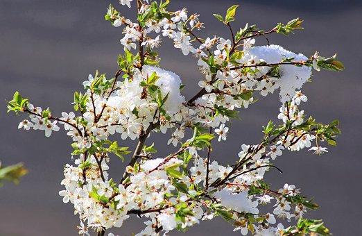 Flower, Nature, Freshness, Spring, Plum, Blooming