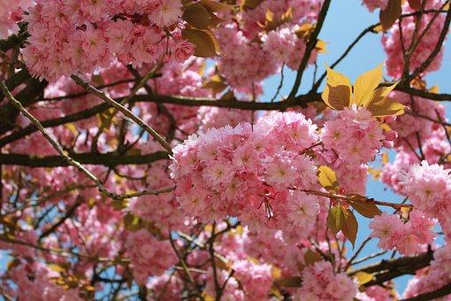 Flower, Branch, Tree, Plant, Cherry Wood, Spring, Bud