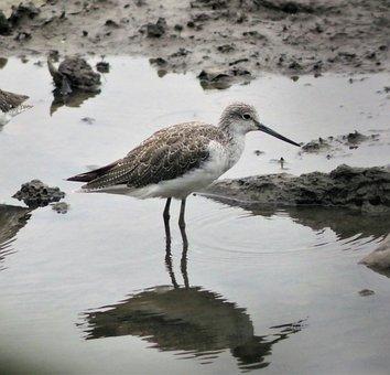 Bird, Wildlife, Shorebird, Animal, Water, Nature, Marsh