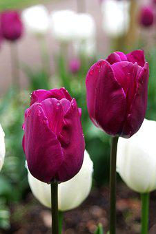 Nature, Tulip, Flower, Flora, Garden, Growth, Color