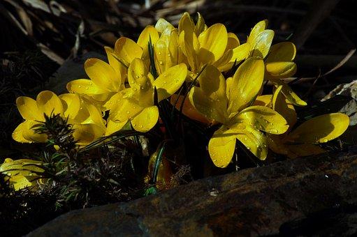 Crocus, Yellow, Flower, Spring Flower, Blossom, Bloom