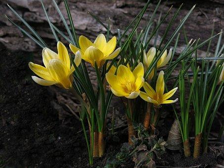 Crocus, Yellow, Yellow Flower