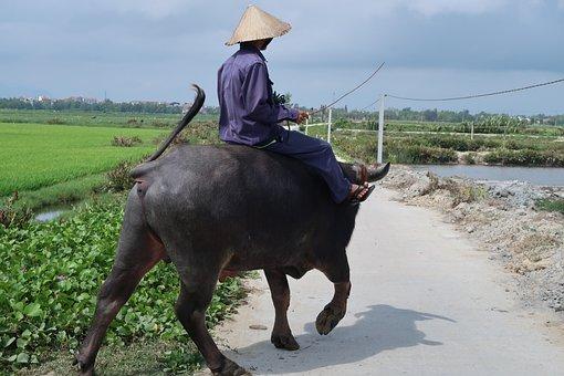 Cattle, Mammal, Vietnam, Farmer, Rice Field, Caraboa
