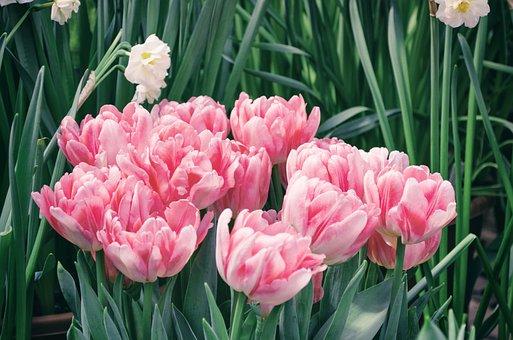 Tulip, Flower, Plant, Garden, Nature, Sheet, Season
