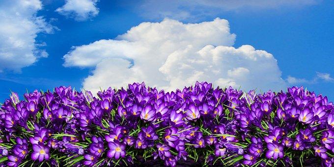 Nature, Flower, Crocus, Panorama, Flower Bed, Garden