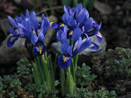 Dwarf Iris, Purple, Flower, Close, Blossom, Bloom
