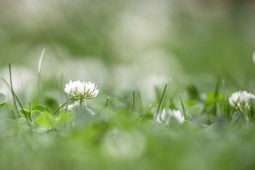 Klee, Grass, Nature, Flower, Meadow, Summer, Garden