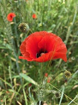 Flower, Poppy, Nature, Plant, Field, Garden, Summer