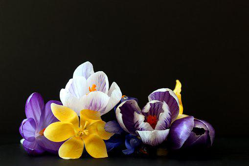 Crocus, Early Bloomer, Spring, Flower, Nature, Plant